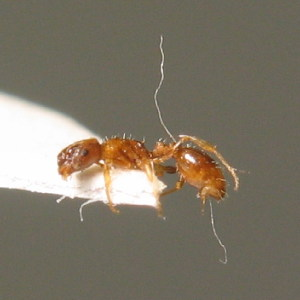 (Leptothorax tuberum - BC ZSM HYM 00636)  @11 [ ] CreativeCommons - Attribution Non-Commercial Share-Alike (2010) Unspecified ZSM (Zoologische Staatssammlung Muenchen)