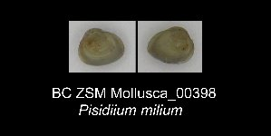 (Pisidium milium - BC ZSM Mollusca_ 00398)  @11 [ ] CreativeCommons - Attribution Non-Commercial Share-Alike (2012) SNSB, Zoologische Staatssammlung Muenchen SNSB, Zoologische Staatssammlung Muenchen
