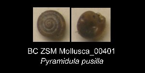 (Pyramidula pusilla - BC ZSM Mollusca_ 00401)  @12 [ ] CreativeCommons - Attribution Share-Alike (2012) Zoologische Staatssammlung Muenchen SNSB, Zoologische Staatssammlung Muenchen