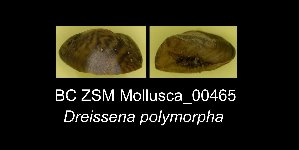 ( - BC ZSM Mollusca_ 00465)  @13 [ ] CreativeCommons - Attribution Non-Commercial Share-Alike (2012) SNSB, Zoologische Staatssammlung Muenchen SNSB, Zoologische Staatssammlung Muenchen
