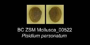 (Pisidium personatum - BC ZSM Mollusca_ 00522)  @11 [ ] CreativeCommons - Attribution Share-Alike (2012) Zoologische Staatssammlung Muenchen SNSB, Zoologische Staatssammlung Muenchen