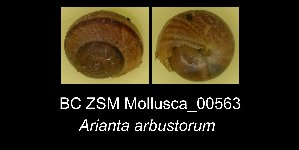 ( - BC ZSM Mollusca_ 00563)  @11 [ ] CreativeCommons - Attribution Share-Alike (2012) Zoologische Staatssammlung Muenchen SNSB, Zoologische Staatssammlung Muenchen