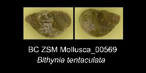 ( - BC ZSM Mollusca_ 00569)  @11 [ ] CreativeCommons - Attribution Share-Alike (2012) Zoologische Staatssammlung Muenchen SNSB, Zoologische Staatssammlung Muenchen
