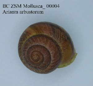 ( - BC ZSM Mollusca_ 00004)  @12 [ ] CreativeCommons - Attribution Share-Alike (2010) Zoologische Staatssammlung Muenchen SNSB, Zoologische Staatssammlung Muenchen