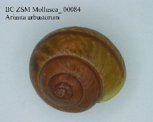 ( - BC ZSM Mollusca_ 00084)  @13 [ ] CreativeCommons - Attribution Share-Alike (2010) Zoologische Staatssammlung Muenchen SNSB, Zoologische Staatssammlung Muenchen
