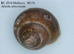 ( - BC ZSM Mollusca_ 00176)  @12 [ ] CreativeCommons - Attribution Non-Commercial Share-Alike (2010) Stefan Schmidt SNSB, Zoologische Staatssammlung Muenchen