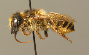 (Megachile ericetorum - BC ZSM HYM 00088)  @14 [ ] CreativeCommons - Attribution Non-Commercial Share-Alike (2010) Stefan Schmidt SNSB, Zoologische Staatssammlung Muenchen