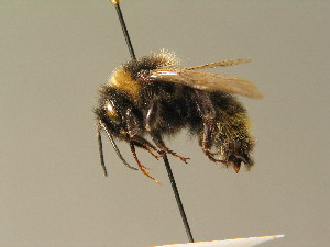 (Bombus campestris - BC ZSM HYM 01057)  @14 [ ] CreativeCommons - Attribution Non-Commercial Share-Alike (2010) Stefan Schmidt SNSB, Zoologische Staatssammlung Muenchen