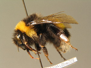 (Bombus magnus - BC ZSM HYM 01088)  @14 [ ] CreativeCommons - Attribution Non-Commercial Share-Alike (2010) Stefan Schmidt SNSB, Zoologische Staatssammlung Muenchen