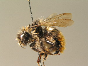 (Bombus wurflenii - BC ZSM HYM 01096)  @14 [ ] CreativeCommons - Attribution Non-Commercial Share-Alike (2010) Stefan Schmidt SNSB, Zoologische Staatssammlung Muenchen
