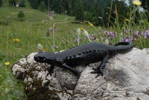 (Salamandra atra - BC ZSM HERP 00132)  @11 [ ] CreativeCommons - Attribution Non-Commercial Share-Alike (2010) Stefan Schmidt SNSB, Zoologische Staatssammlung Muenchen