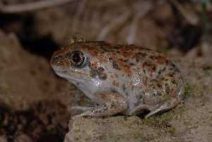 (Pelobatidae - BC ZSM HERP 00138)  @14 [ ] CreativeCommons - Attribution Non-Commercial Share-Alike (2010) Stefan Schmidt SNSB, Zoologische Staatssammlung Muenchen