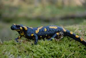 (Salamandrinae - BC ZSM HERP 00177)  @15 [ ] CreativeCommons - Attribution Non-Commercial Share-Alike (2010) Stefan Schmidt SNSB, Zoologische Staatssammlung Muenchen