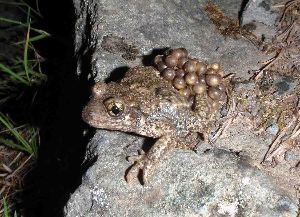 (Alytes - BC ZSM HERP 00058)  @11 [ ] CreativeCommons - Attribution Non-Commercial Share-Alike (2010) Stefan Schmidt SNSB, Zoologische Staatssammlung Muenchen