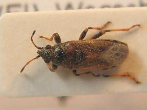 (Heterogaster artemisiae - BFB_Heteroptera_Schmolke_0703)  @11 [ ] CreativeCommons - Attribution Share-Alike (2012) Zoologische Staatssammlung Muenchen Zoologische Staatssammlung Muenchen