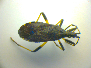 (Stenocephalidae - BFB_Heteroptera_Kuechler_0142)  @13 [ ] CreativeCommons - Attribution Non-Commercial Share-Alike (2010) SNSB, Zoologische Staatssammlung Muenchen SNSB, Zoologische Staatssammlung Muenchen