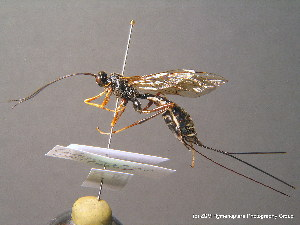 (Acaenitinae - BC ZSM HYM 10698)  @14 [ ] CreativeCommons - Attribution Non-Commercial Share-Alike (2011) Stefan Schmidt ZSM (Zoologische Staatssammlung Muenchen)