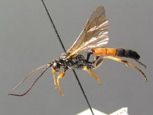 (Ichneumoninae - BC ZSM HYM 03735)  @15 [ ] CreativeCommons - Attribution Non-Commercial Share-Alike (2010) Stefan Schmidt ZSM (Zoologische Staatssammlung Muenchen)