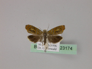 ( - BC ZSM Lep 23174)  @12 [ ] Copyright (2010) Unspecified Bavarian State Collection of Zoology (ZSM)