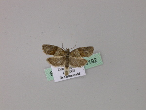 ( - BC ZSM Lep 23192)  @12 [ ] Copyright (2010) Unspecified Bavarian State Collection of Zoology (ZSM)