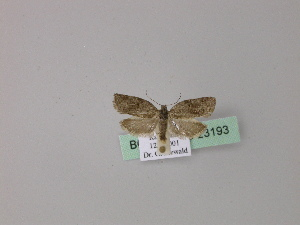 ( - BC ZSM Lep 23193)  @12 [ ] Copyright (2010) Unspecified Bavarian State Collection of Zoology (ZSM)