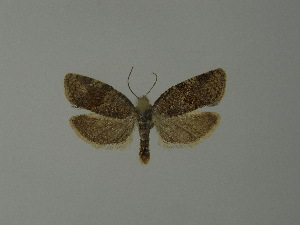 ( - BC ZSM Lep 23414)  @13 [ ] Copyright (2010) Unspecified Bavarian State Collection of Zoology (ZSM)