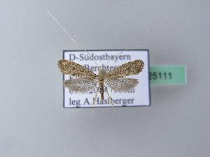 (Nematopogon robertella - BC ZSM Lep 25111)  @14 [ ] Copyright (2010) Unspecified Bavarian State Collection of Zoology (ZSM)