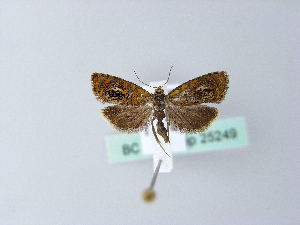 ( - BC ZSM Lep 25249)  @12 [ ] Copyright (2010) Unspecified Bavarian State Collection of Zoology (ZSM)
