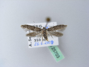 ( - BC ZSM Lep 25703)  @11 [ ] Copyright (2010) Unspecified Bavarian State Collection of Zoology (ZSM)