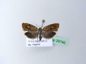 ( - BC ZSM Lep 25740)  @12 [ ] Copyright (2010) Unspecified Bavarian State Collection of Zoology (ZSM)