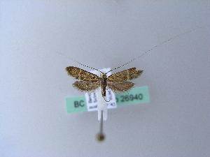 (Nemophora congruella - BC ZSM Lep 26940)  @13 [ ] Copyright (2010) Axel Hausmann/Bavarian State Collection of Zoology (ZSM) SNSB, Zoologische Staatssammlung Muenchen