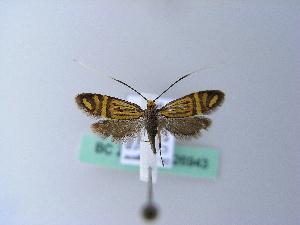(Nemophora ochsenheimerella - BC ZSM Lep 26943)  @14 [ ] Copyright (2010) Axel Hausmann/Bavarian State Collection of Zoology (ZSM) SNSB, Zoologische Staatssammlung Muenchen