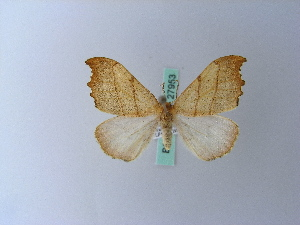 ( - BC ZSM Lep 27953)  @12 [ ] Copyright (2010) Unspecified Bavarian State Collection of Zoology (ZSM)
