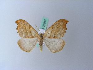 ( - BC ZSM Lep 27957)  @12 [ ] Copyright (2010) Unspecified Bavarian State Collection of Zoology (ZSM)