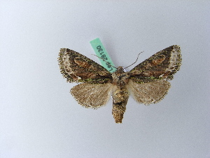 ( - BC ZSM Lep 28130)  @11 [ ] Copyright (2010) Unspecified Bavarian State Collection of Zoology (ZSM)