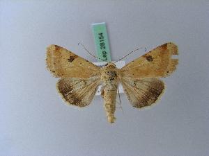 ( - BC ZSM Lep 28154)  @11 [ ] Copyright (2010) Axel Hausmann/Bavarian State Collection of Zoology (ZSM) SNSB, Zoologische Staatssammlung Muenchen