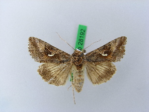 ( - BC ZSM Lep 28192)  @13 [ ] Copyright (2010) Unspecified Bavarian State Collection of Zoology (ZSM)