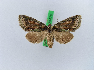 ( - BC ZSM Lep 28470)  @11 [ ] Copyright (2010) Unspecified Bavarian State Collection of Zoology (ZSM)
