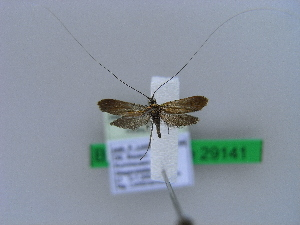 (Adela violella - BC ZSM Lep 29141)  @14 [ ] Copyright (2010) Unspecified Bavarian State Collection of Zoology (ZSM)