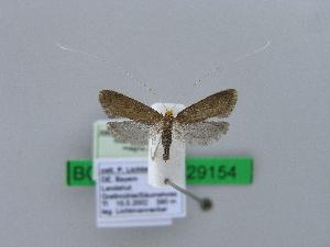 (Nematopogon magna - BC ZSM Lep 29154)  @14 [ ] Copyright (2010) Unspecified Bavarian State Collection of Zoology (ZSM)