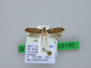 ( - BC ZSM Lep 29190)  @13 [ ] Copyright (2010) Axel Hausmann/Bavarian State Collection of Zoology (ZSM) SNSB, Zoologische Staatssammlung Muenchen