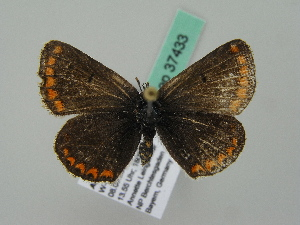 ( - BC ZSM Lep 37433)  @13 [ ] Copyright (2010) Unspecified Bavarian State Collection of Zoology (ZSM)