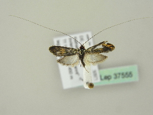 (Nemophora dumerilella - BC ZSM Lep 37555)  @14 [ ] Copyright (2010) Unspecified Bavarian State Collection of Zoology (ZSM)