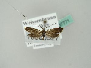 (Adela violella - BC ZSM Lep 37771)  @14 [ ] Copyright (2010) Axel Hausmann/Bavarian State Collection of Zoology (ZSM) SNSB, Zoologische Staatssammlung Muenchen