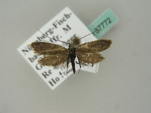 (Adela reaumurella - BC ZSM Lep 37772)  @14 [ ] Copyright (2010) Unspecified Bavarian State Collection of Zoology (ZSM)