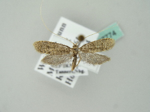 (Nematopogon robertella - BC ZSM Lep 37774)  @14 [ ] Copyright (2010) Unspecified Bavarian State Collection of Zoology (ZSM)