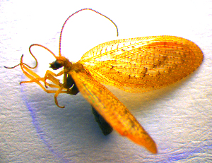 (Hemerobiidae - BC ZSM NEU 00045)  @14 [ ] CreativeCommons - Attribution Non-Commercial Share-Alike (2010) Stefan Schmidt SNSB, Zoologische Staatssammlung Muenchen