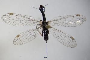(Raphidiidae - BC ZSM NEU 135)  @14 [ ] Unspecified (default): All Rights Reserved  Unspecified Unspecified