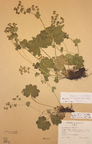 (Alchemilla filicaulis var. vestita - H-KYM000301)  @11 [ ] Unspecified (default): All Rights Reserved  Unspecified Unspecified