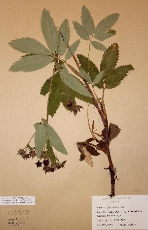 (Potentilla palustris - H-KYM007526)  @11 [ ] Unspecified (default): All Rights Reserved  Unspecified Unspecified